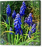 Grape Hyacinths 2014 Acrylic Print