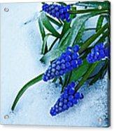 Grape Hyacinths In Snow Acrylic Print