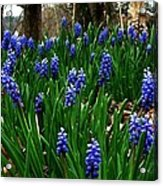 Grape Hyacinths Acrylic Print by Julie Dant
