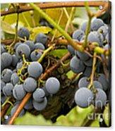 Grape Work Acrylic Print