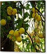 Grapefruits Acrylic Print