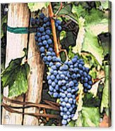 Grapes 1 Acrylic Print