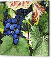 Grapes 3 Acrylic Print