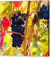 Grapes And Autumn Leaves, Napa California Acrylic Print