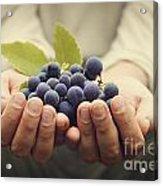 Grapes Harvest Acrylic Print by Mythja  Photography