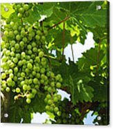 Grapes In A Vineyard Acrylic Print