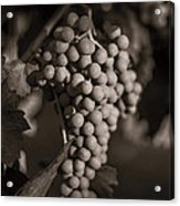 Grapes In Grey 2 Acrylic Print
