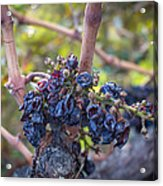 Grapes Of Wrath Acrylic Print