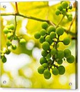 Grapes On The Vine - Finger Lakes Vineyard Acrylic Print