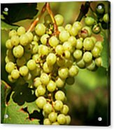 Grapes - Yummy And Healthy Acrylic Print