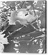 Grapevine 2002  Acrylic Print