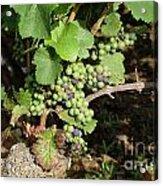 Grapevine. Burgundy. France. Europe Acrylic Print