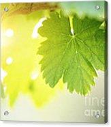 Grapevine Leaves Acrylic Print