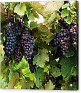 Grapevines #2 Acrylic Print