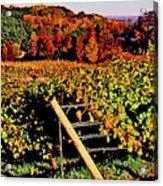 Grapevines In Vineyard, Traverse City Acrylic Print