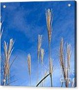 Grass Against A Blue Sky Acrylic Print