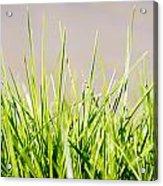 Grass Blades Acrylic Print