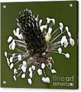 Grass Bloom Acrylic Print
