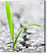 Grass In Asphalt Acrylic Print
