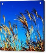 Grass In The Wind Acrylic Print