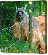 Grass Is Always Greener - Llama Acrylic Print by Jordan Blackstone