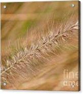 Grass Seed Head Acrylic Print