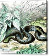 Grass Snake Acrylic Print