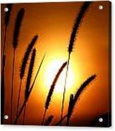 Grasses At Sunset - 1 Acrylic Print