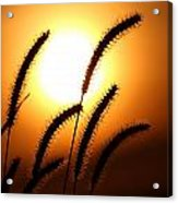Grasses At Sunset - 2 Acrylic Print