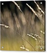 Grasses Blowing Acrylic Print