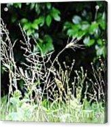 Grasses Acrylic Print