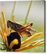 Grasshopper Antenna Down Acrylic Print