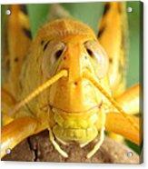 Grasshopper Grin Acrylic Print