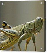 Grasshopper In Profile Acrylic Print by David  Ortiz