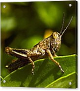 Grasshopper Macro Acrylic Print