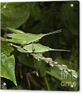 Grasshopper Mating On Grass Leaf Acrylic Print