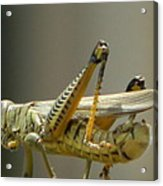 Grasshopper On His Way Out Acrylic Print