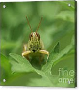 Grasshopper Portrait Acrylic Print