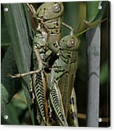 Grasshoppers In Love Acrylic Print