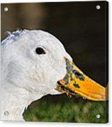 Grassy-bill Duck Acrylic Print