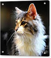 Gray And White Cat Acrylic Print