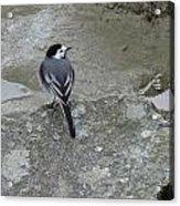 Gray Bird Acrylic Print