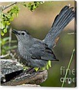 Gray Catbird Drinking Acrylic Print