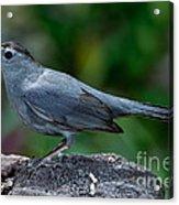 Gray Catbird Dumetella Carolinensis Acrylic Print