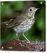 Gray-cheeked Thrush Catharus Minimus Acrylic Print