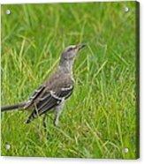 Gray-eyed Catbird II Acrylic Print