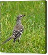 Gray-eyed Catbird Acrylic Print