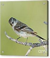 Gray Flycatcher Acrylic Print