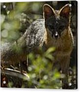 Gray Fox In The Woods Acrylic Print