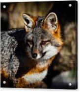 Gray Fox Acrylic Print